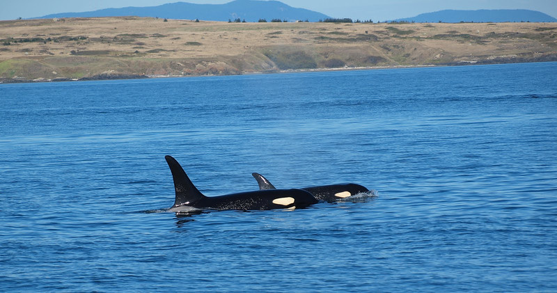 A pair of Orcas