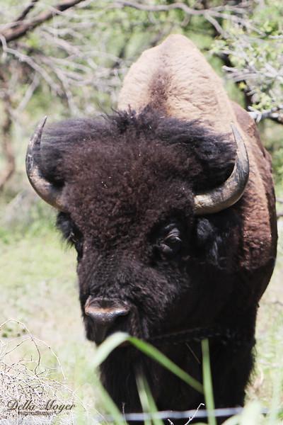 Texas Bison Herd 2013