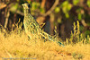 A Greater Roadrunner taken Oct. 30, 2011 near Portales, NM.