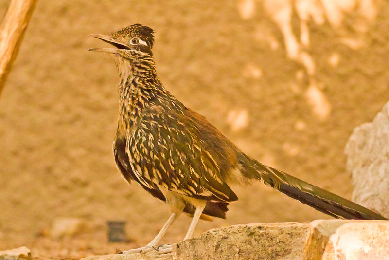 A Greater Roadrunner taken July 20, 2011 near Carlsbad, NM.