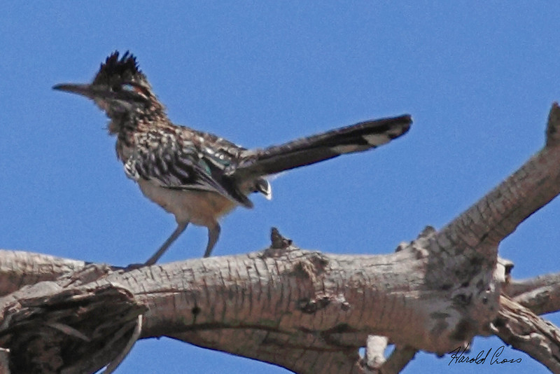 A Greater Roadrunner taken July 22, 2010 near Arch, NM.