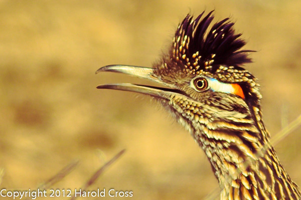 A Greater Roadrunner taken Feb. 6, 2012 in Tucson, AZ.