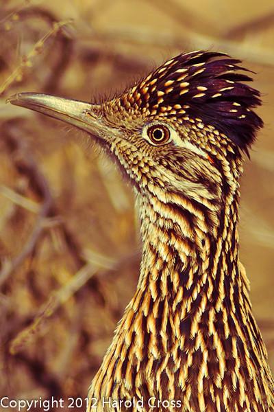 A Greater Roadrunner taken Feb. 6, 2012 in Tucson, AZ.