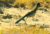 A Greater Roadrunner taken Nov. 1, 2011 near Roswell, NM.
