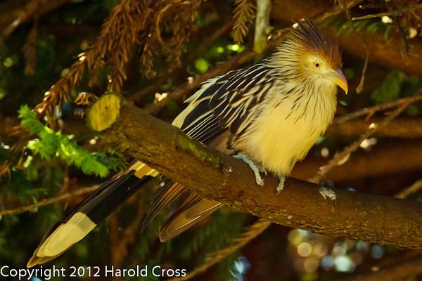 A Guira Cuckoo taken Jun. 20, 2012 in Eureka, CA.