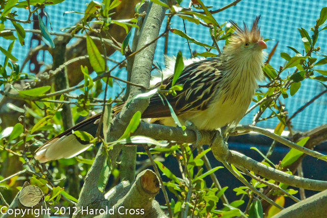 A Guira Cuckoo taken Jun. 20, 2012 in Eureka, CA.