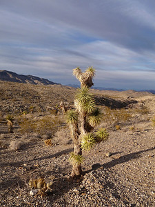 Joshua Tree out in the desert.