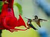 Lots of Rufous Humming Birds in Kitwanga