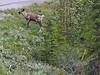 Wood caribou