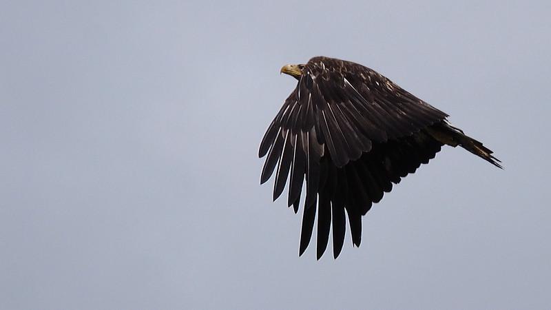 An Eagle's flight - Port Hardy