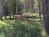 Elk by Whistler Campground in Jasper NP