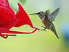 Lots of Rufous Humming Birds in Kitwanga