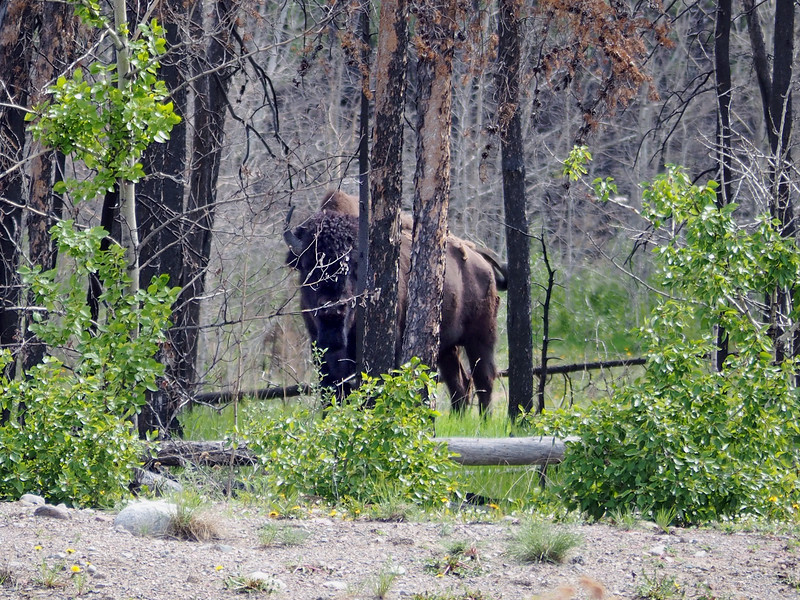 Wood Bison on the Yellowknife Highway