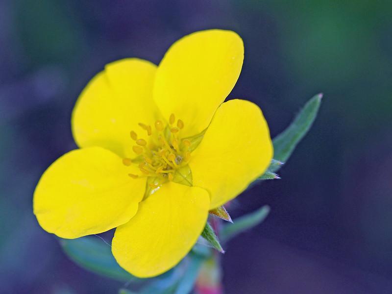Flower by Muncho Lake