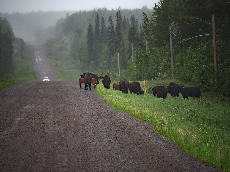 Bison road guard on the Liard Trail