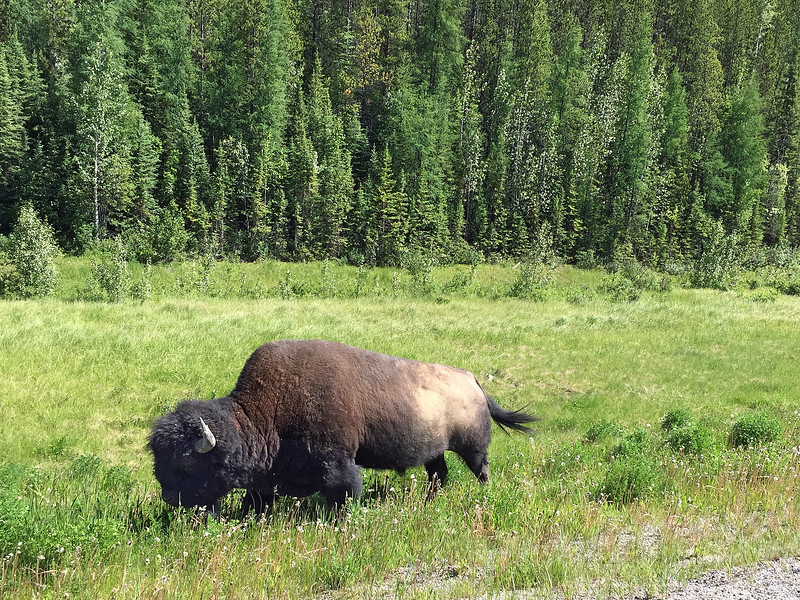 Bison along the Alcan highway in BC