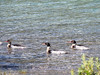 Red eyed ducks on Muncho Lake