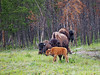 Young bison and their moms