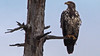 A closer look at an immature bald eagle