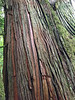 Red Cedar - Along Cathedral Trail in old growth forest -