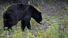 Bears love the dandelions along the dirt roads