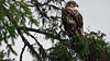 The eagles - both immature and adults in Port Hardy