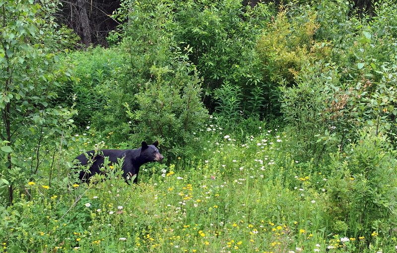 Bear along the Cassiar Highway south of junction for Stewart BC