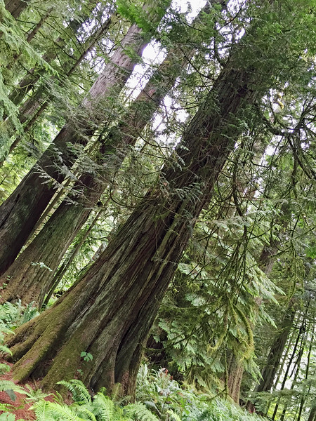 Along Cathedral Trail in old growth forest