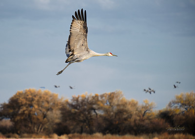 Bosque del Apache Wildlife Refuge, New Mexico 2020 9