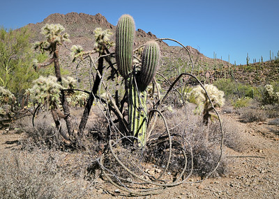 Sonoran Desert, Tucson, Arizona 2020 22 1