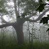 Massive Oak Tree
