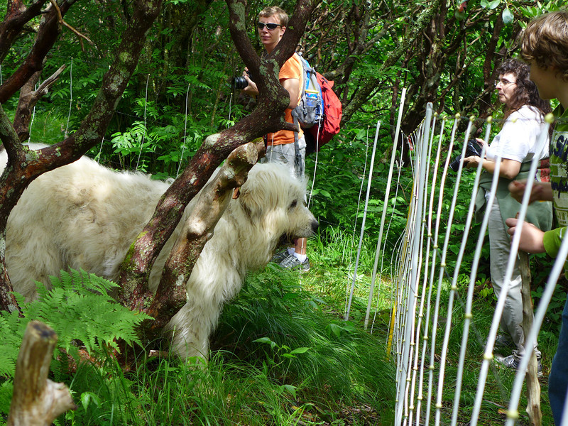 """Bigdog near the fence of the goats' paddock on Roan Mountain.  <a href=""""http://baatany.org/"""">Please see this webpage</a> for more info."""