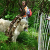 "Bigdog near the fence of the goats' paddock on Roan Mountain.  <a href=""http://baatany.org/"">Please see this webpage</a> for more info."