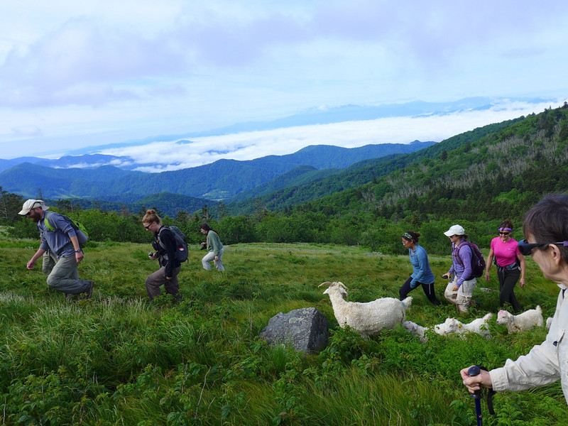 "Heading up Round Bald .... volunteers and the group of goats who will live on Roan Mountain through the summer.   <b><u><a href=""http://baatany.org/"" rel=""nofollow"">More info on this project here</a></u></b>."