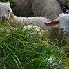 "Two of the baby goats that are up on Roan Mountain for the summer.  <a href=""http://baatany.org/"">Please see this webpage</a>for more info."