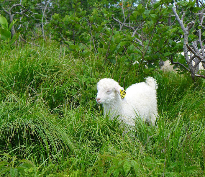"One of the baby goats on Roan Mountain this year.   The group included eleven one-month old goats and 21 adult goats.  <b><u><a href=""http://baatany.org/"">Please see this webpage</a></u></b> for more info."