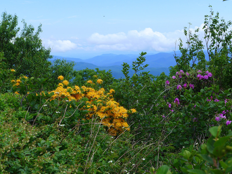 Flame Azalea on Roan Mountain.