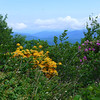 Flame Azalea on Roan Mountain.