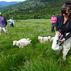 "Goats and volunteers heading up Roan Mountain as part of the 2013 Herding of the Goats up to Roan.  <a href=""http://baatany.org/"">Please see this webpage</a>for more info."