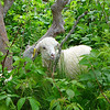 """One of the eleven baby goats up on Roan Mountain this year.  <a href=""""http://baatany.org/"""">Please see this webpage</a> for more info."""