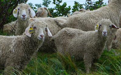 2014 (June) Herding of the Goats