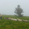 Goats heading up to Roan Mountain
