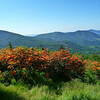 Flame Azalea on Roan Mountain