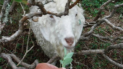 Jamey interviews the Goats of Roan Mountain