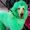 First time I've seen a green poodle