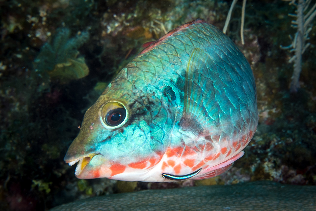 Parrotfish being Cleaned