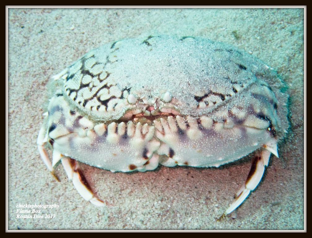Flamebox Crab