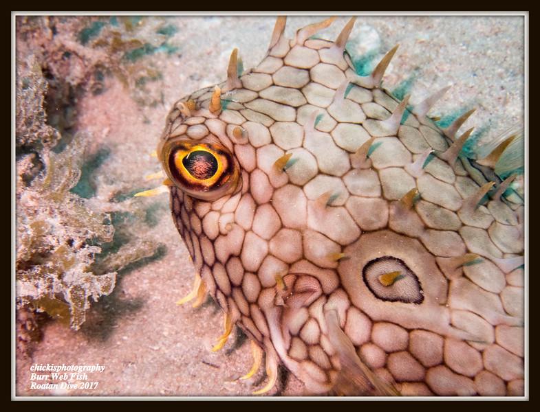 Burr Fish