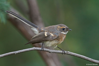 Robins, Flycatchers and Fantails