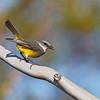 Western Yellow Robin